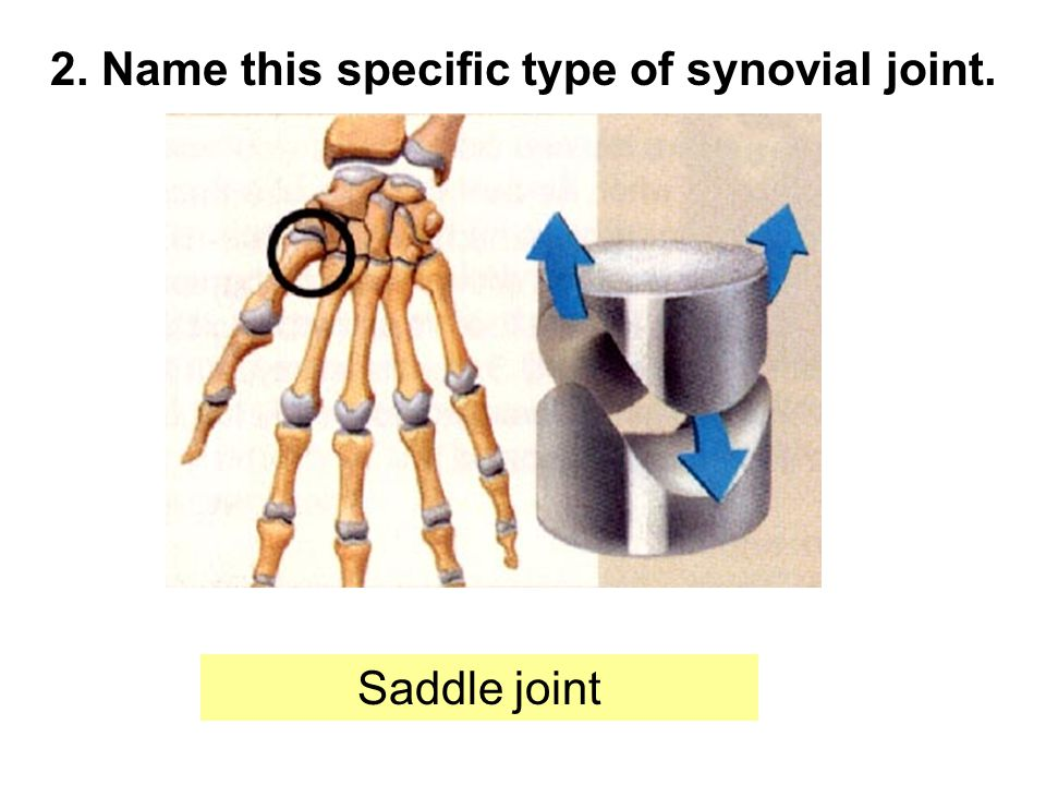 2. Name this specific type of synovial joint. Saddle joint