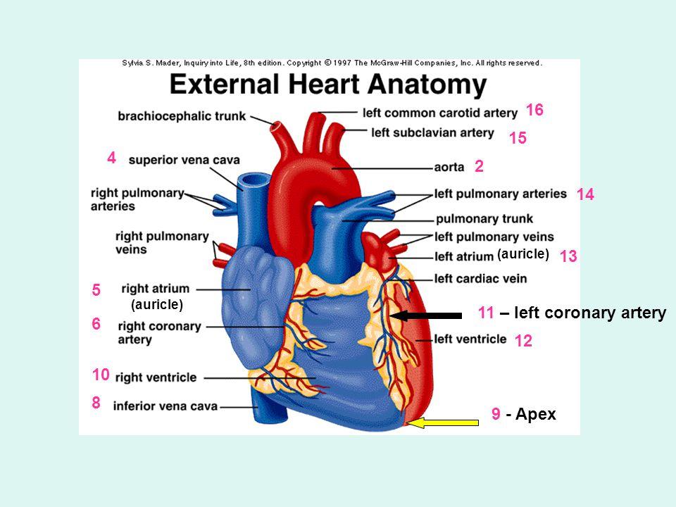 4 2 5 6 10 8 9 - Apex 12 11 – left coronary artery 13 14 15 16 (auricle)