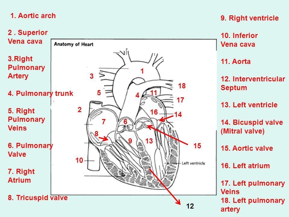 18 1. Aortic arch 2. Superior Vena cava 3.Right Pulmonary Artery 4. Pulmonary trunk 5. Right Pulmonary Veins 6. Pulmonary Valve 7. Right Atrium 8. Tri
