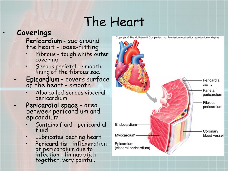 The Heart Coverings –Pericardium - sac around the heart - loose-fitting Fibrous - tough white outer covering, Serous parietal - smooth lining of the fibrous sac.