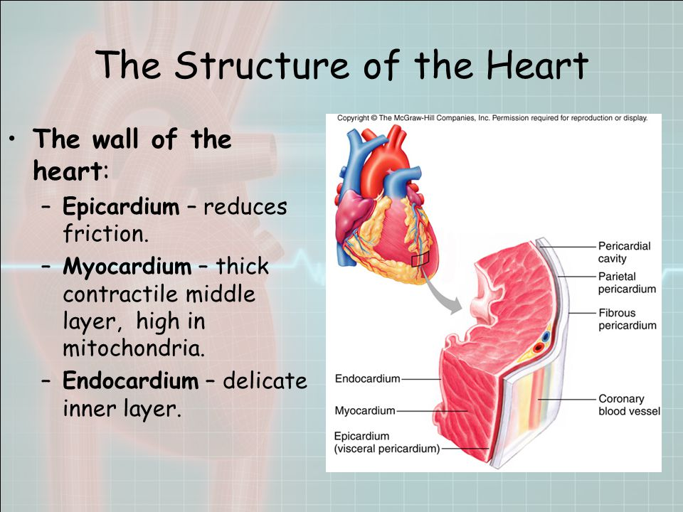 The Structure of the Heart The wall of the heart: –Epicardium – reduces friction.
