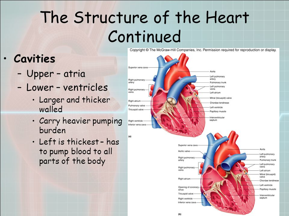 The Structure of the Heart Continued Cavities –Upper – atria –Lower – ventricles Larger and thicker walled Carry heavier pumping burden Left is thickest – has to pump blood to all parts of the body