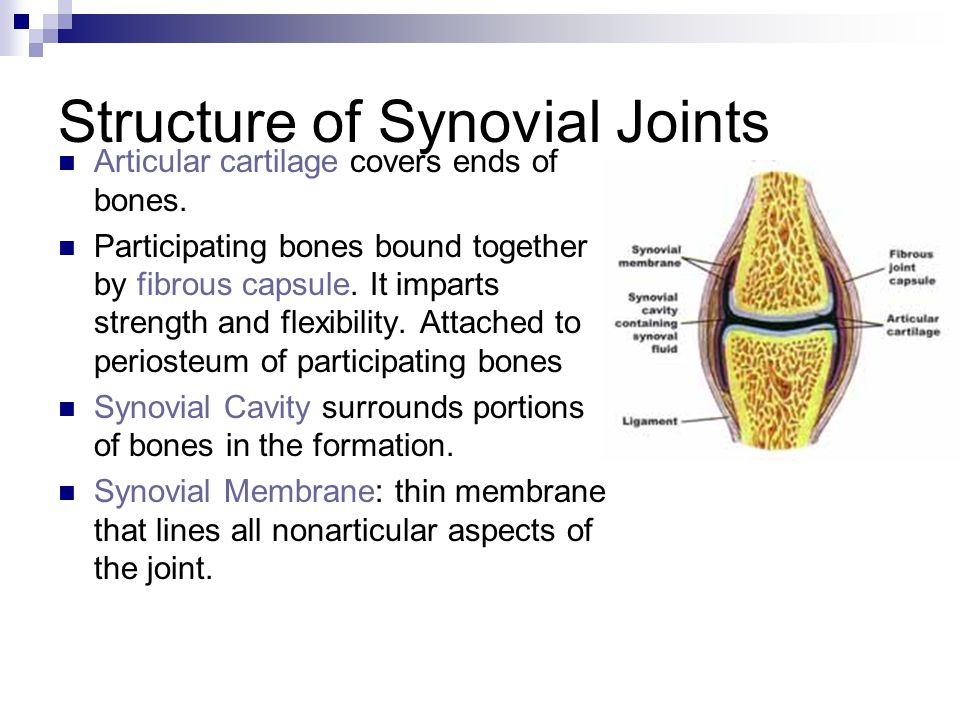 Structure of Synovial Joints Articular cartilage covers ends of bones.