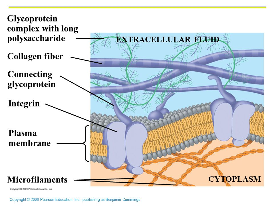 Copyright © 2006 Pearson Education, Inc., publishing as Benjamin Cummings EXTRACELLULAR FLUID Microfilaments Collagen fiber Connecting glycoprotein Integrin Plasma membrane Glycoprotein complex with long polysaccharide CYTOPLASM