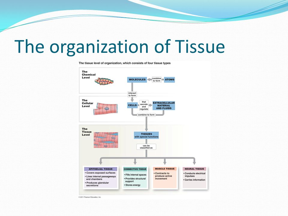 The organization of Tissue