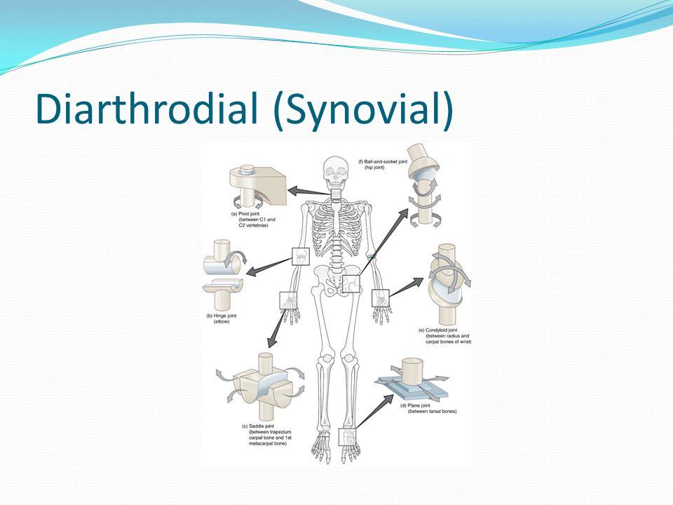 Diarthrodial (Synovial)
