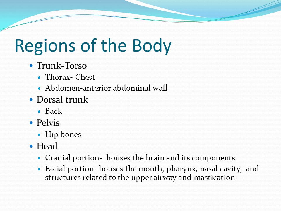 Regions of the Body Trunk-Torso Thorax- Chest Abdomen-anterior abdominal wall Dorsal trunk Back Pelvis Hip bones Head Cranial portion- houses the brai