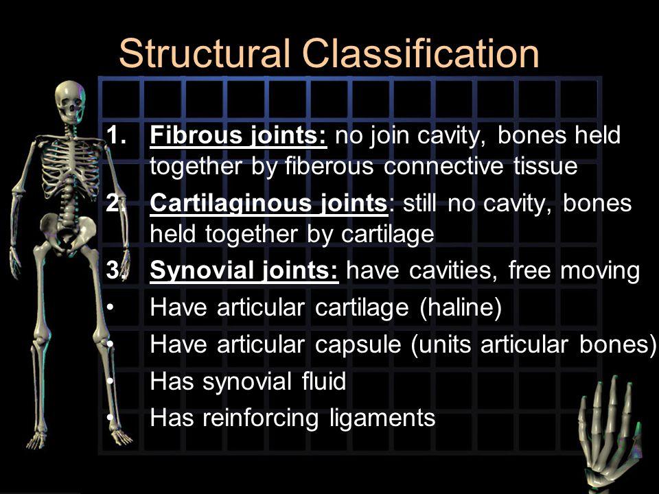 Structural Classification 1.Fibrous joints: 1.Fibrous joints: no join cavity, bones held together by fiberous connective tissue 2.Cartilaginous joints