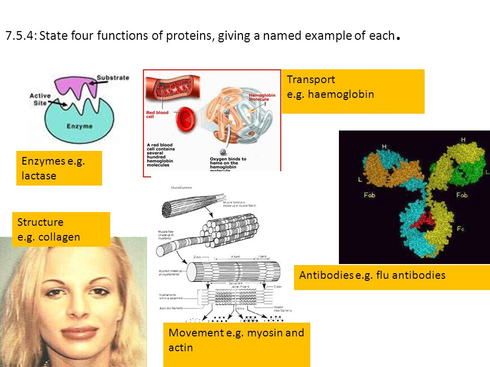7.5.4: State four functions of proteins, giving a named example of each.