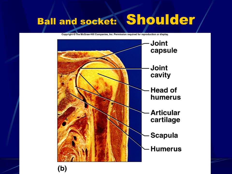 Ball and socket: Shoulder