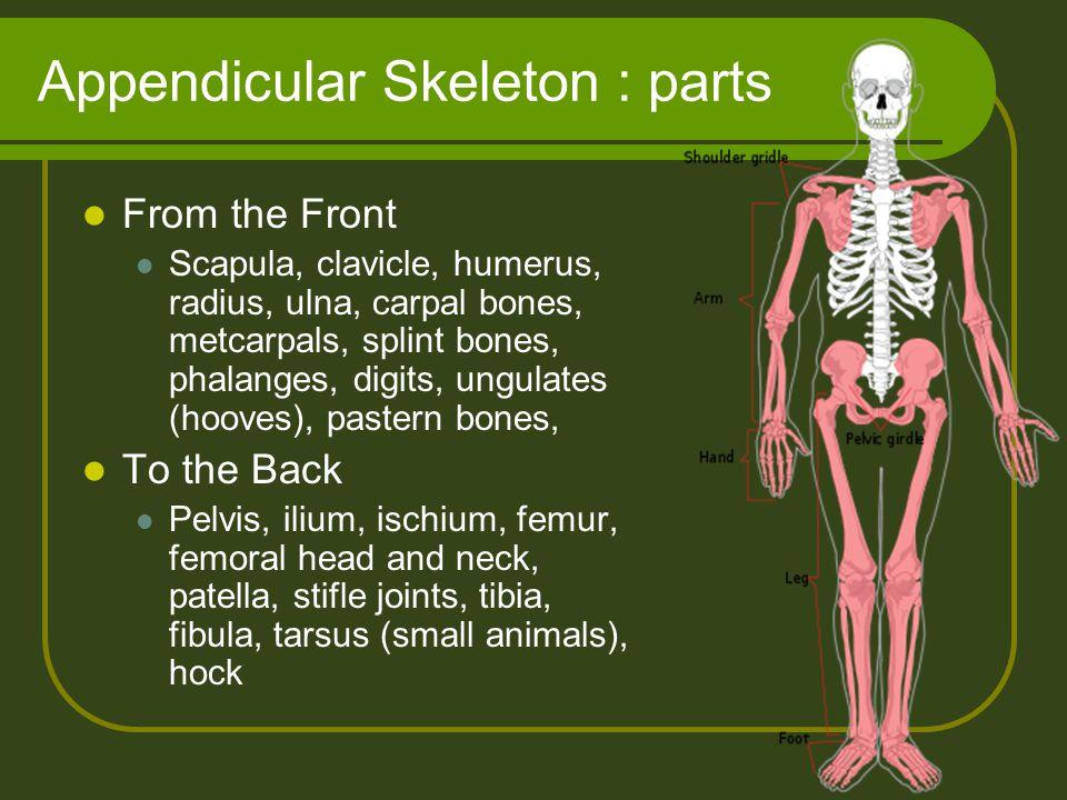 Appendicular Skeleton : parts From the Front Scapula, clavicle, humerus, radius, ulna, carpal bones, metcarpals, splint bones, phalanges, digits, ungu