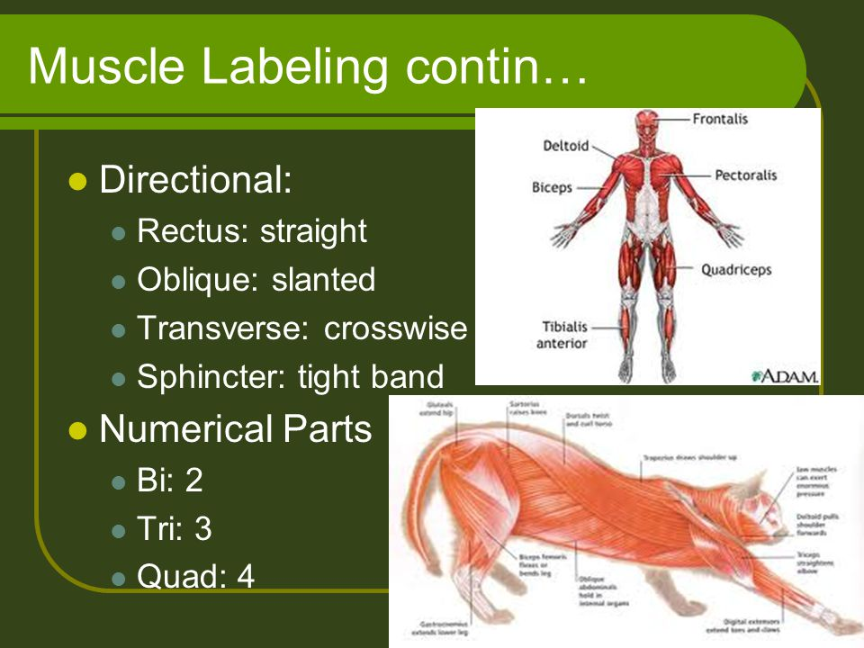 Muscle Labeling contin… Directional: Rectus: straight Oblique: slanted Transverse: crosswise Sphincter: tight band Numerical Parts Bi: 2 Tri: 3 Quad: