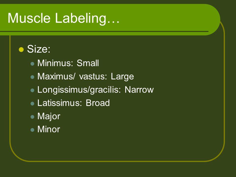 Muscle Labeling… Size: Minimus: Small Maximus/ vastus: Large Longissimus/gracilis: Narrow Latissimus: Broad Major Minor