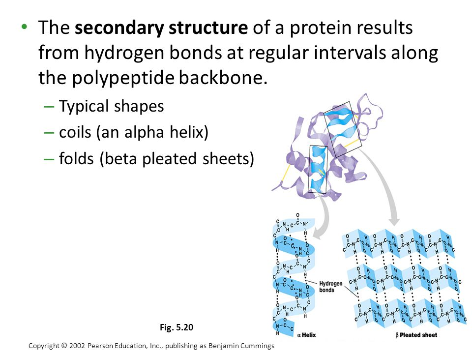 The secondary structure of a protein results from hydrogen bonds at regular intervals along the polypeptide backbone.