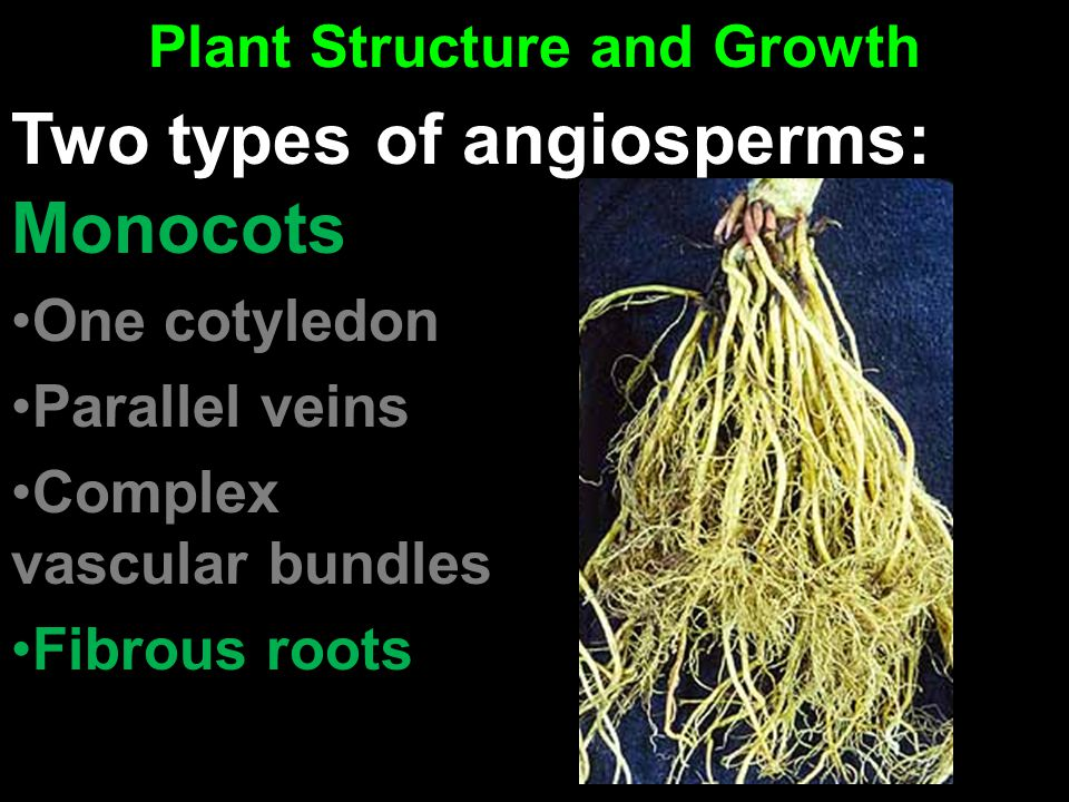Plant Structure and Growth Monocots One cotyledon Parallel veins Complex vascular bundles Fibrous roots Two types of angiosperms: