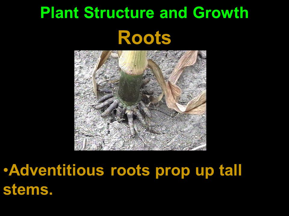 Plant Structure and Growth Roots Fibrous roots absorb water well Tap roots hold fast in the ground and store nutrients All roots absorb water mostly a
