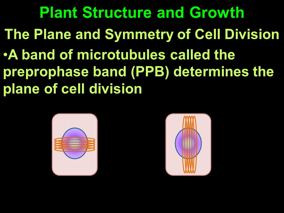Plant Structure and Growth The Plane and Symmetry of Cell Division A band of microtubules called the preprophase band (PPB) determines the plane of ce