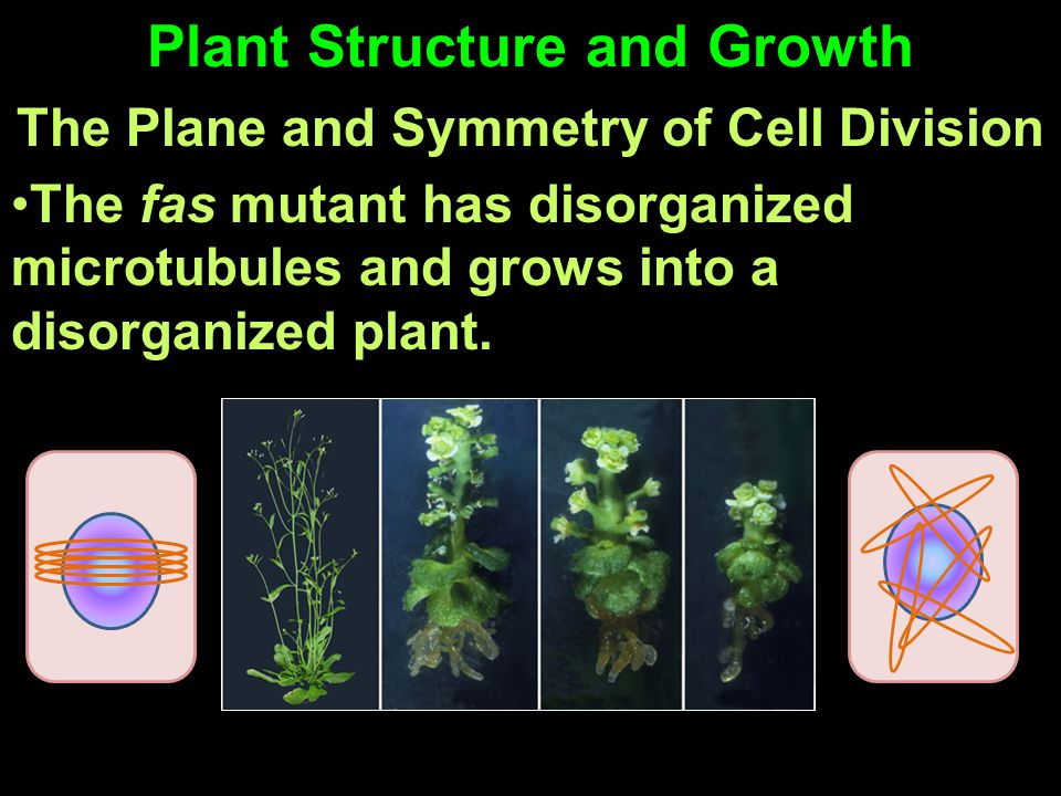 Plant Structure and Growth The Plane and Symmetry of Cell Division The fas mutant has disorganized microtubules and grows into a disorganized plant.