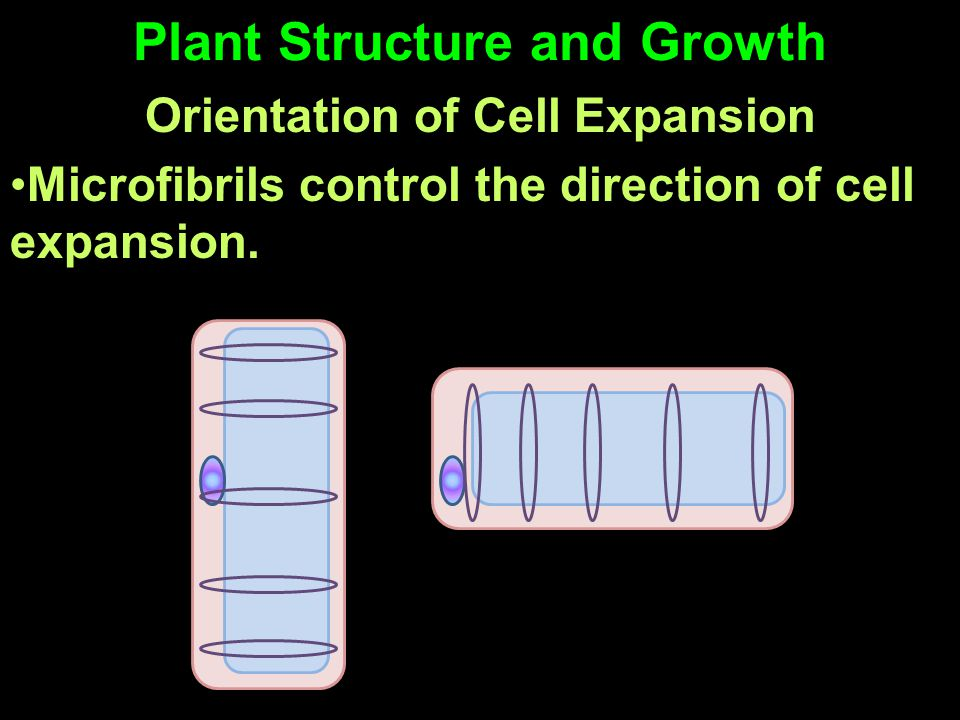 Plant Structure and Growth Orientation of Cell Expansion Microfibrils control the direction of cell expansion.