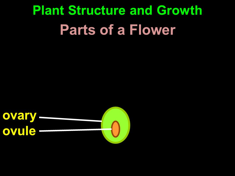 ovary ovule Parts of a Flower Plant Structure and Growth
