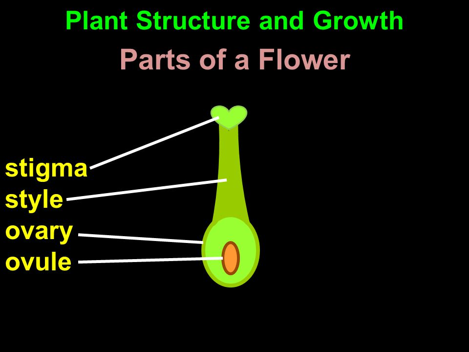 stigma style ovary ovule Parts of a Flower Plant Structure and Growth