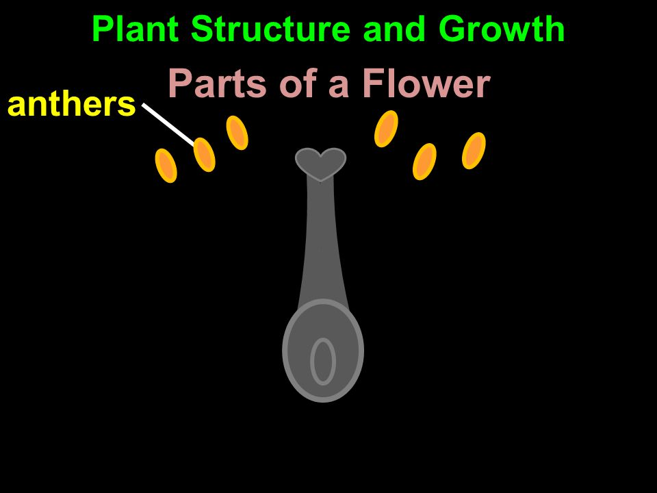 anthers Parts of a Flower Plant Structure and Growth