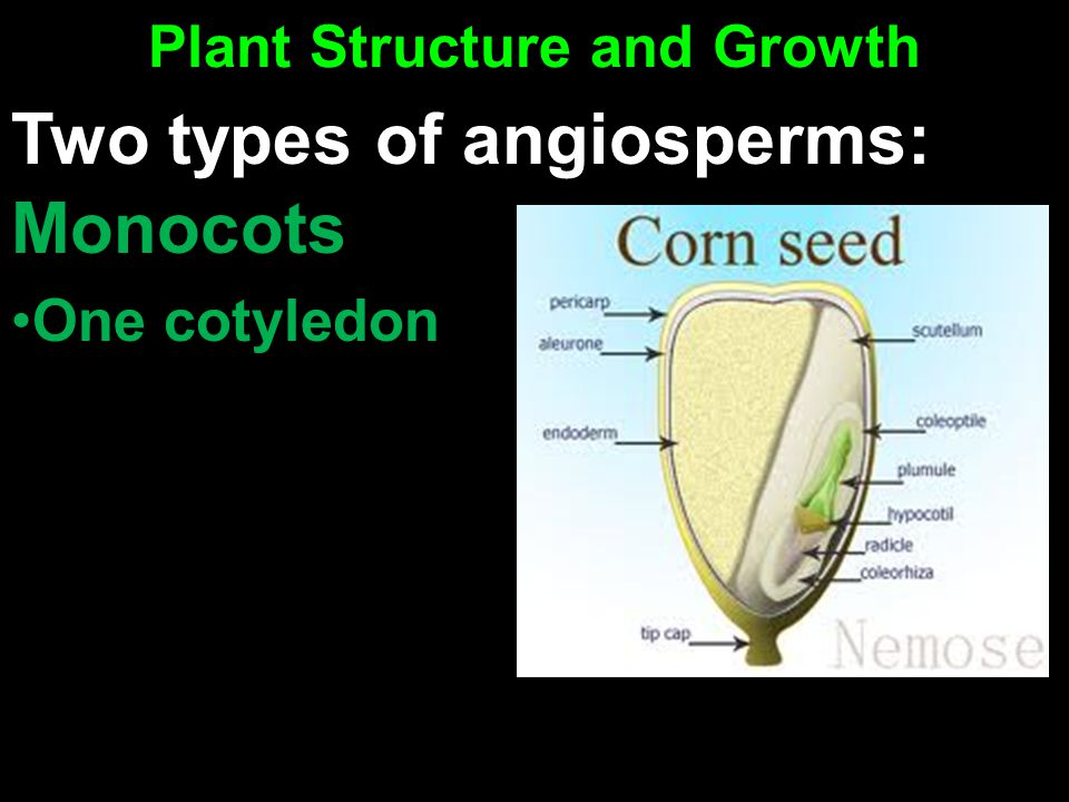 Plant Structure and Growth Monocots One cotyledon Two types of angiosperms: