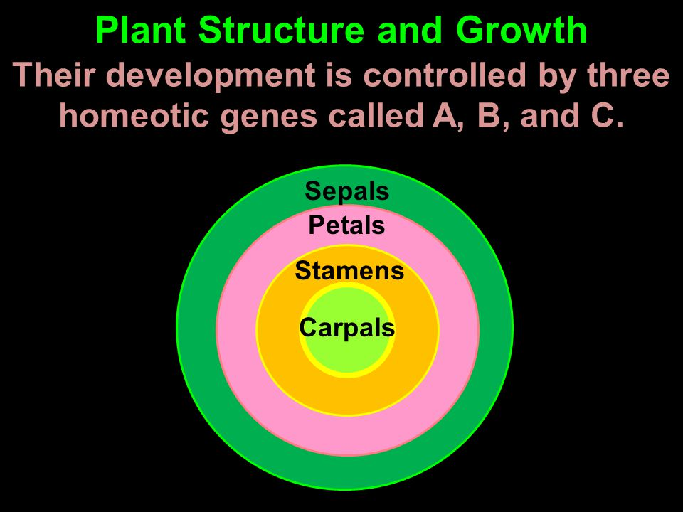 Their development is controlled by three homeotic genes called A, B, and C. Plant Structure and Growth Sepals Petals Stamens Carpals