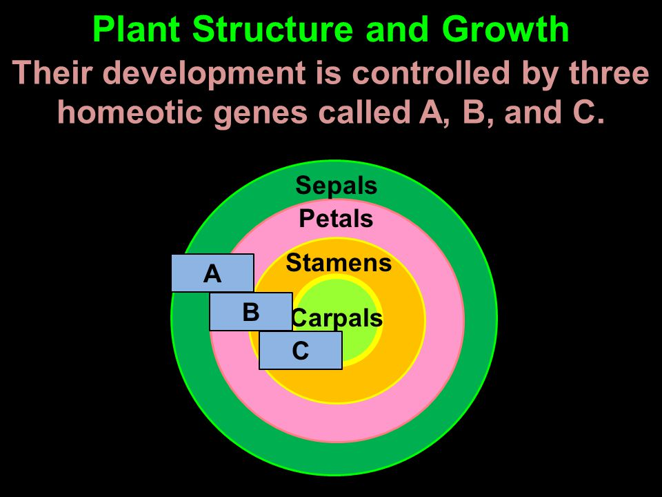 Their development is controlled by three homeotic genes called A, B, and C. Plant Structure and Growth Sepals Petals Stamens Carpals A C B