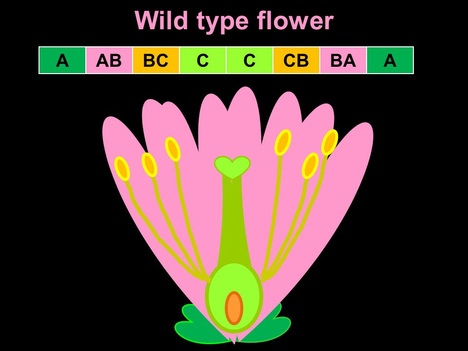 Wild type flower CCCBBCABABAA