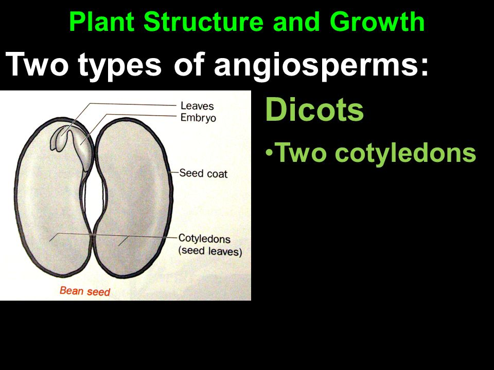 Plant Structure and Growth Dicots Two cotyledons Two types of angiosperms:
