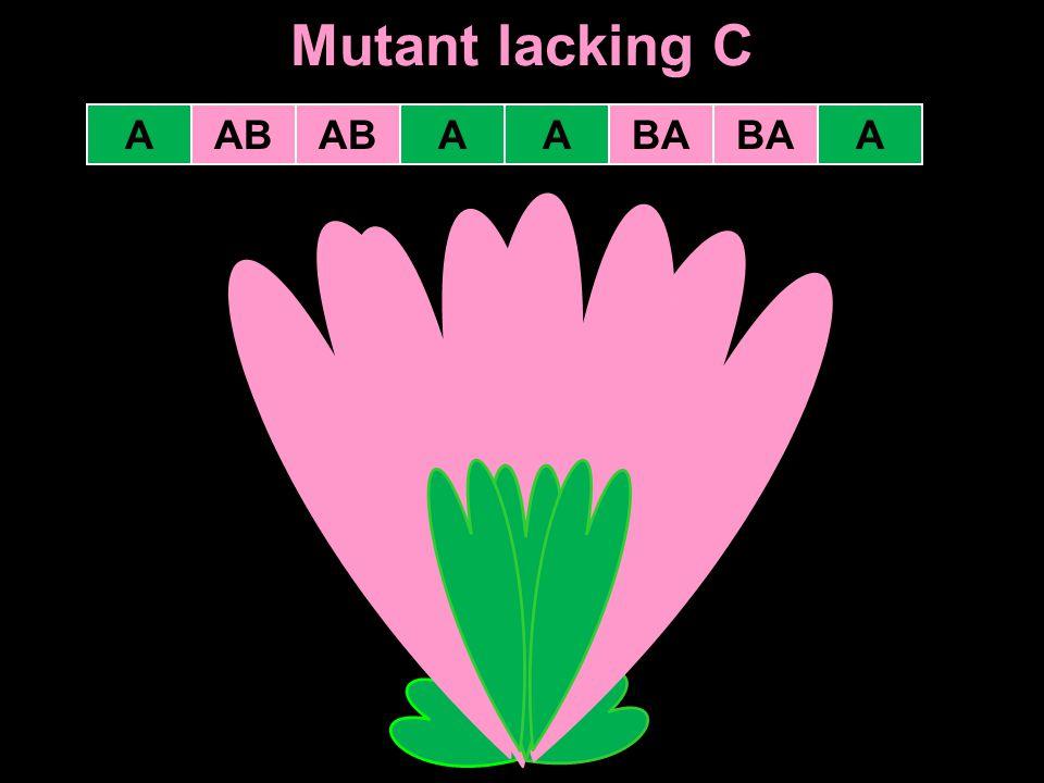 Mutant lacking C AABAAB ABAA