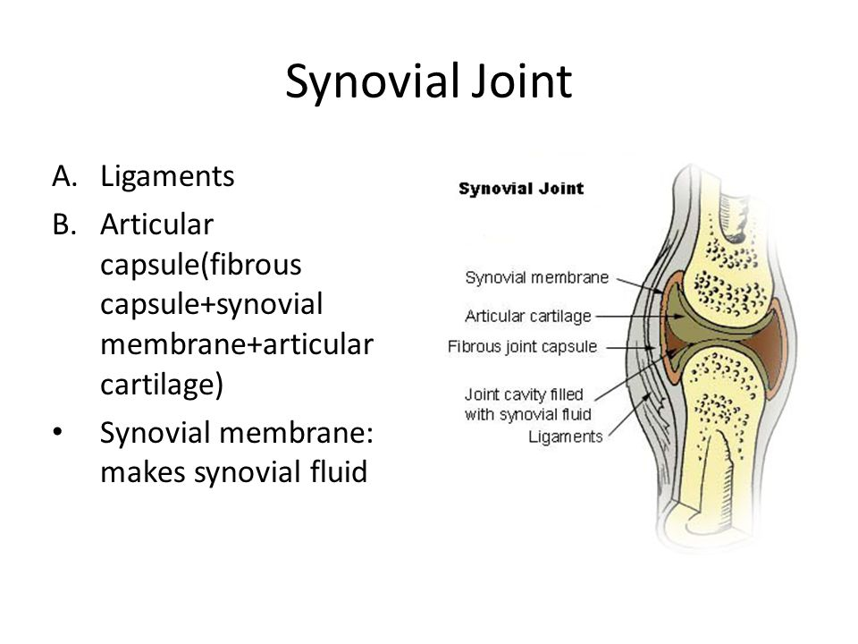 Synovial Joint A.Ligaments B.Articular capsule(fibrous capsule+synovial membrane+articular cartilage) Synovial membrane: makes synovial fluid