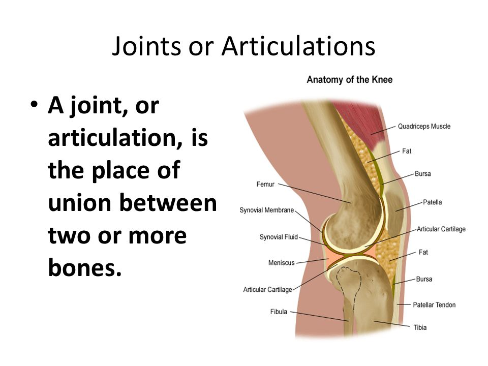 A joint, or articulation, is the place of union between two or more bones.