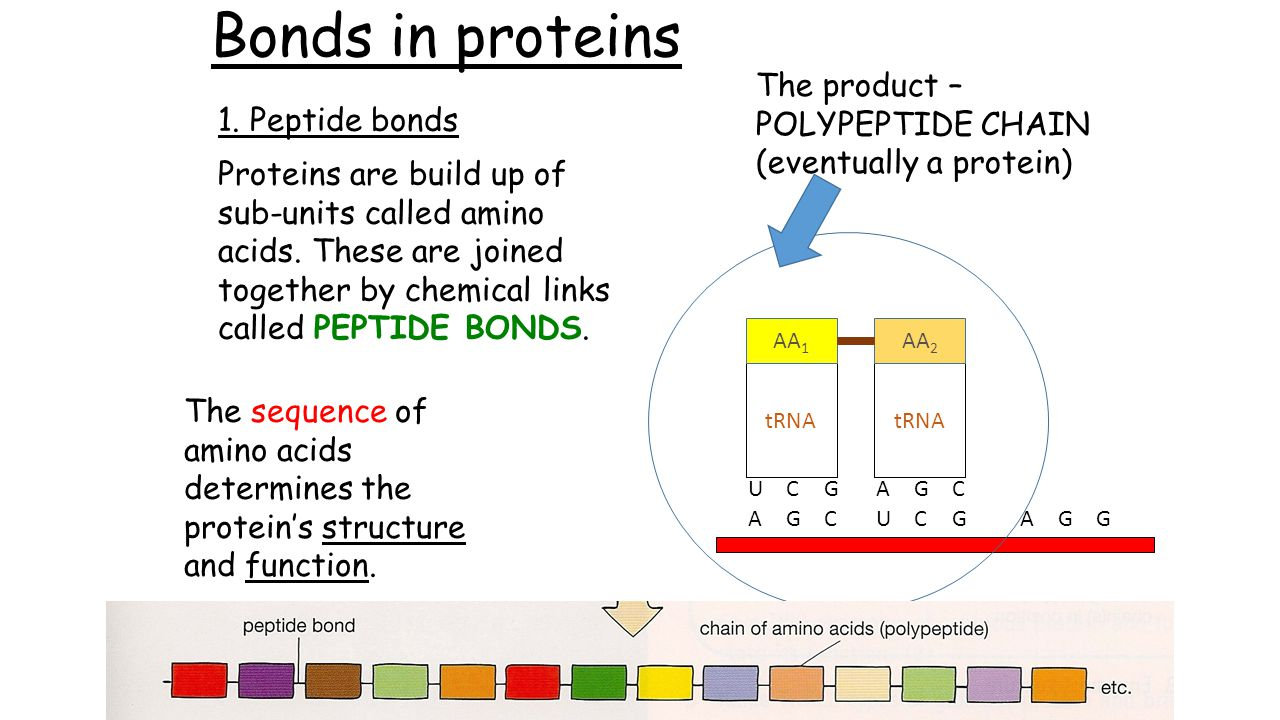 Bonds in proteins 1.Peptide bonds Proteins are build up of sub-units called amino acids.