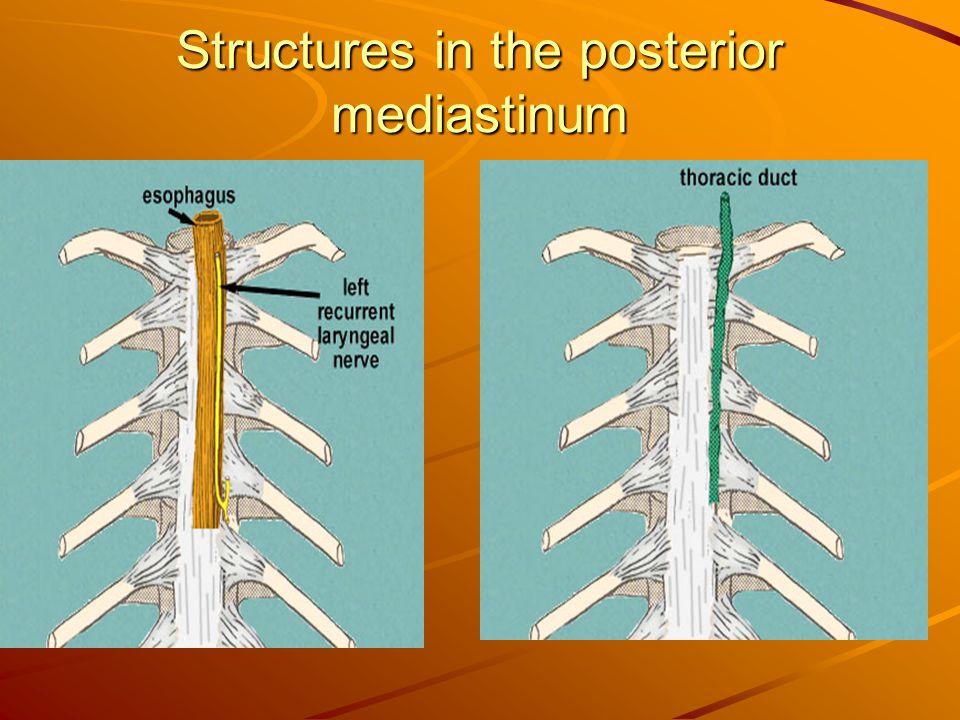Structures in the posterior mediastinum