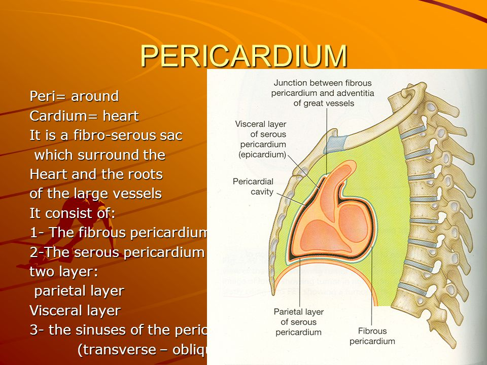 PERICARDIUM Peri= around Cardium= heart It is a fibro-serous sac which surround the which surround the Heart and the roots of the large vessels It consist of: 1- The fibrous pericardium 2-The serous pericardium two layer: parietal layer parietal layer Visceral layer 3- the sinuses of the pericardium (transverse – oblique ) (transverse – oblique )