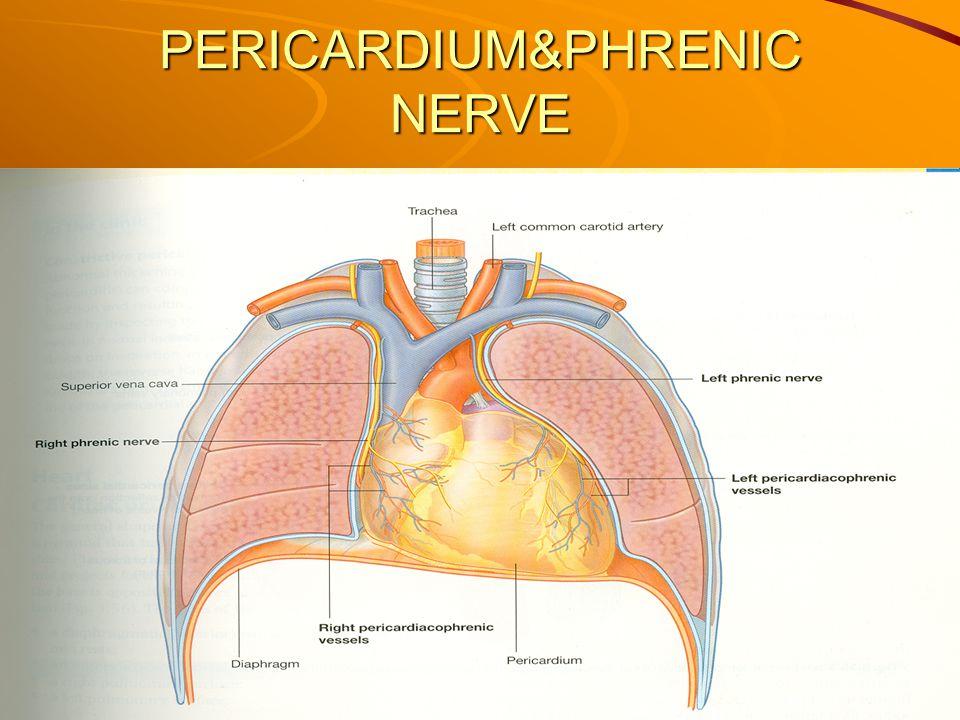 PERICARDIUM&PHRENIC NERVE