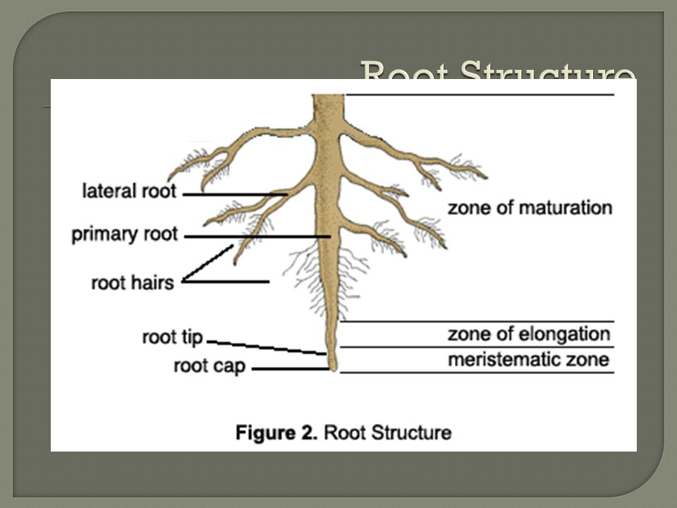  Internally, there are three major parts of a root (Figure 2):  The meristem is at the tip and manufactures new cells; it is an area of cell division and growth.meristem  Behind the meristem is the zone of elongation.