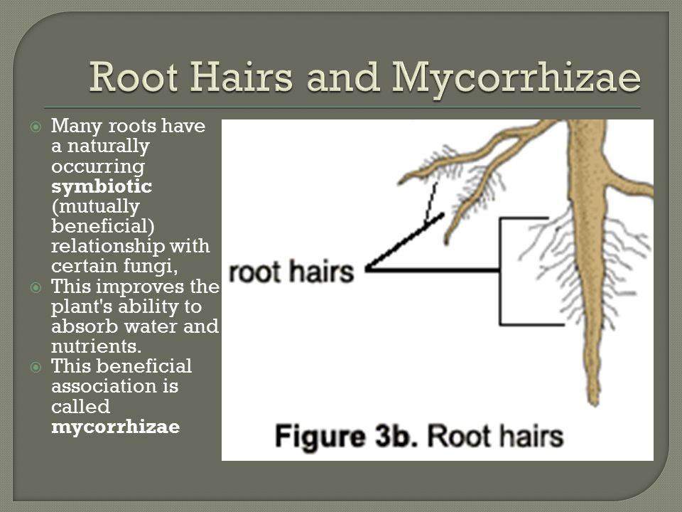  There are two major types of roots: primary and lateral.