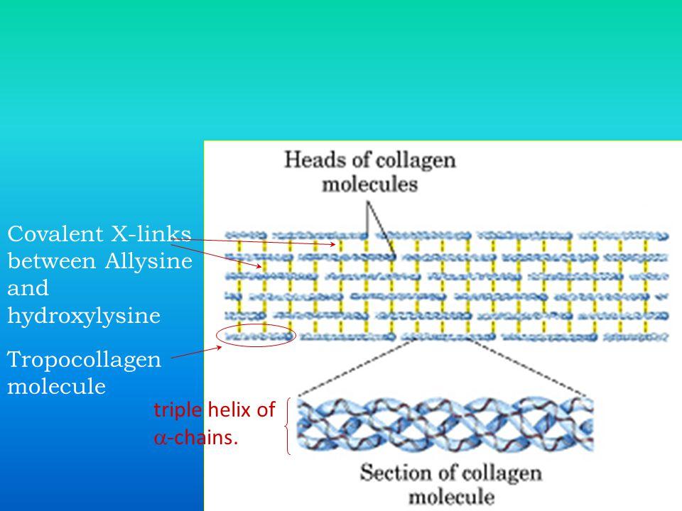 Covalent X-links between Allysine and hydroxylysine Tropocollagen molecule triple helix of  -chains.