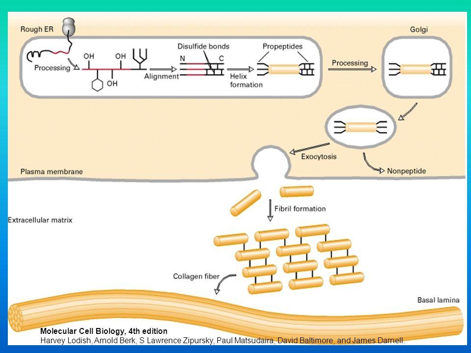27 Molecular Cell Biology, 4th edition Harvey Lodish, Arnold Berk, S Lawrence Zipursky, Paul Matsudaira, David Baltimore, and James Darnell.