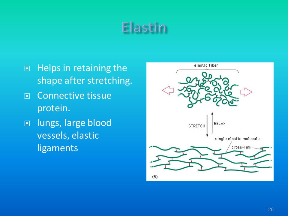  Helps in retaining the shape after stretching.  Connective tissue protein.  lungs, large blood vessels, elastic ligaments 29