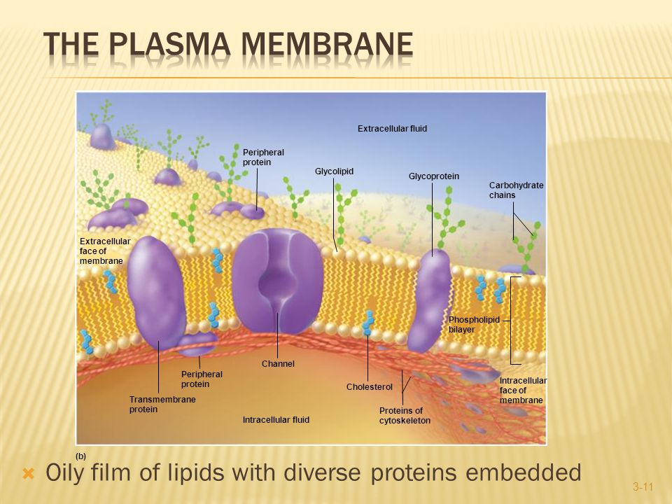 Oily film of lipids with diverse proteins embedded 3-11 Extracellular face of membrane Intracellular face of membrane (b) Peripheral protein Extracellular fluid Glycolipid Glycoprotein Carbohydrate chains Transmembrane protein Peripheral protein Channel Intracellular fluid Cholesterol Proteins of cytoskeleton Phospholipid bilayer