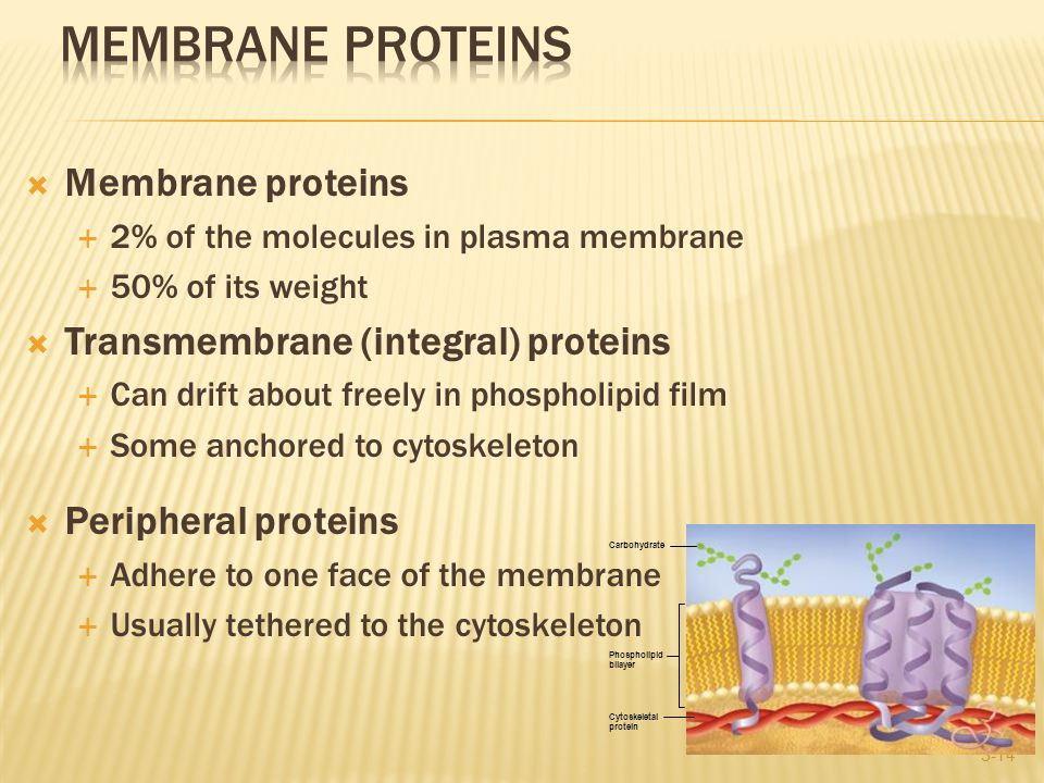  Membrane proteins  2% of the molecules in plasma membrane  50% of its weight  Transmembrane (integral) proteins  Can drift about freely in phospholipid film  Some anchored to cytoskeleton  Peripheral proteins  Adhere to one face of the membrane  Usually tethered to the cytoskeleton 3-14 Carbohydrate Phospholipid bilayer Cytoskeletal protein