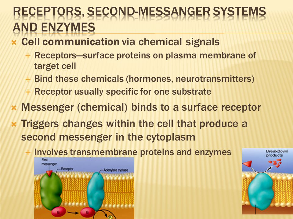  Cell communication via chemical signals  Receptors—surface proteins on plasma membrane of target cell  Bind these chemicals (hormones, neurotransmitters)  Receptor usually specific for one substrate  Messenger (chemical) binds to a surface receptor  Triggers changes within the cell that produce a second messenger in the cytoplasm  Involves transmembrane proteins and enzymes 3-16