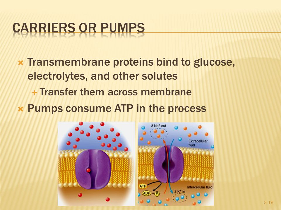  Transmembrane proteins bind to glucose, electrolytes, and other solutes  Transfer them across membrane  Pumps consume ATP in the process 3-18