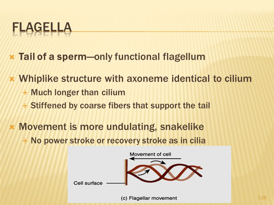  Tail of a sperm—only functional flagellum  Whiplike structure with axoneme identical to cilium  Much longer than cilium  Stiffened by coarse fibers that support the tail  Movement is more undulating, snakelike  No power stroke or recovery stroke as in cilia 3-28