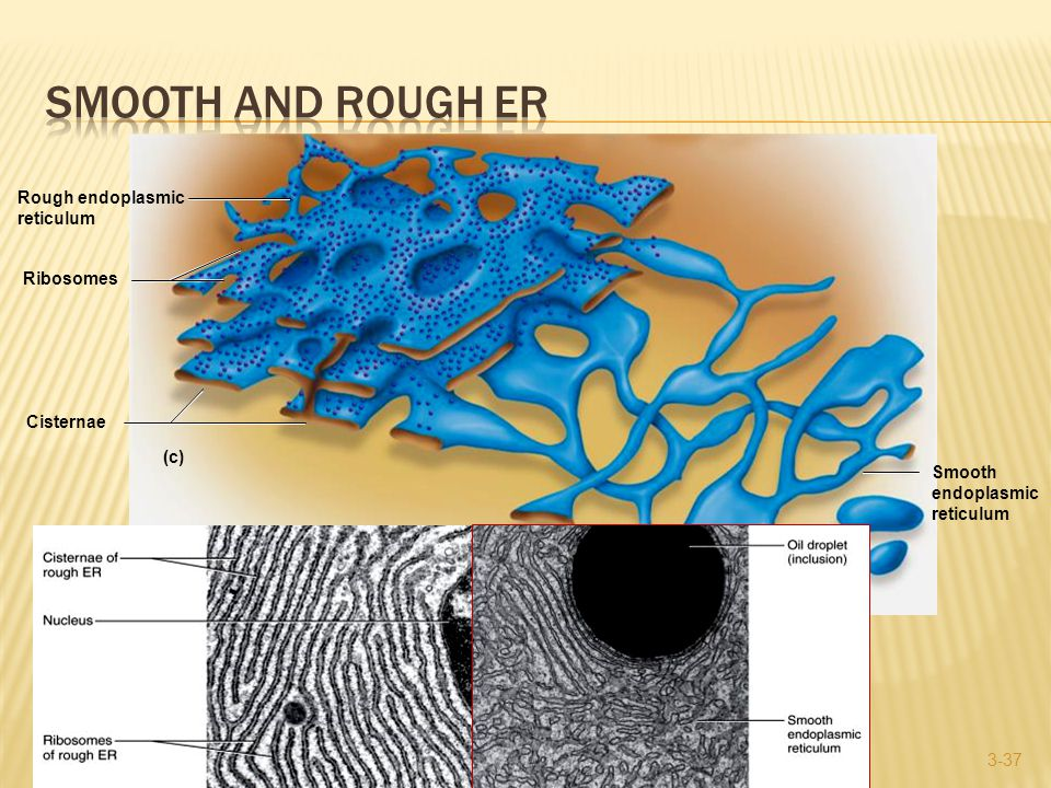 3-37 (c) Rough endoplasmic reticulum Cisternae Ribosomes Smooth endoplasmic reticulum