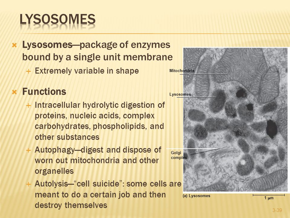  Lysosomes—package of enzymes bound by a single unit membrane  Extremely variable in shape  Functions  Intracellular hydrolytic digestion of proteins, nucleic acids, complex carbohydrates, phospholipids, and other substances  Autophagy—digest and dispose of worn out mitochondria and other organelles  Autolysis— cell suicide : some cells are meant to do a certain job and then destroy themselves 3-39 1  m (a) Lysosomes Mitochondria Lysosomes Golgi complex